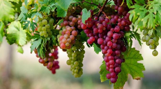Manfaatar Buah Anggur Bagi Kesehatan