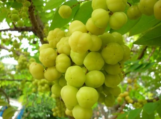 manfaat-buah-cermai-untuk-kesehatan-dan-kecantikan
